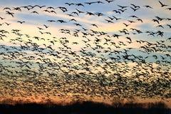 Rebanho da silhueta dos pássaros no por do sol imagem de stock