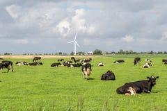 Rebanho da vaca que descansa em um prado, Pieterburen, Holanda Imagem de Stock Royalty Free