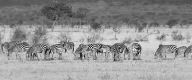 Rebanho da zebra Imagens de Stock Royalty Free