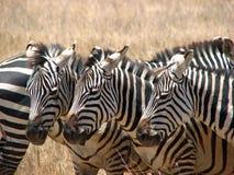 Rebanho da zebra Imagem de Stock