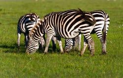 Rebanho da zebra das planícies (quagga do Equus) no Masai Mara Reserv de Kenya Fotografia de Stock Royalty Free