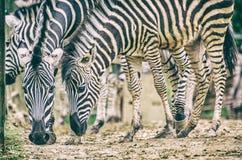Rebanho da zebra de Chapman, filtro análogo fotografia de stock