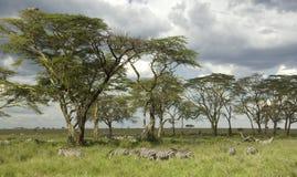 Rebanho da zebra na planície do serengeti fotos de stock royalty free