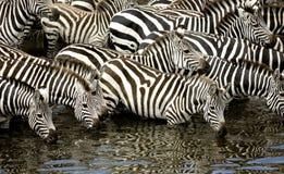 Rebanho da zebra no Masai mara Kenya imagem de stock
