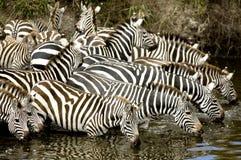 Rebanho da zebra no Masai mara Kenya foto de stock