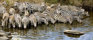 Rebanho da zebra no Masai mara Kenya Imagens de Stock Royalty Free