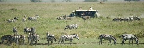 Rebanho da zebra no Serengeti foto de stock royalty free