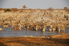Rebanho da zebra no waterhole Fotografia de Stock Royalty Free