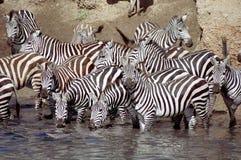 Rebanho da zebra que tem uma bebida imagem de stock