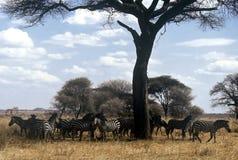 Rebanho da zebra, Tanzânia Foto de Stock Royalty Free