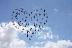 Rebanho dado forma coração dos pássaros Imagem de Stock