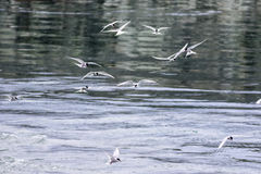 Rebanho das andorinhas-do-mar árticas (paradisaea dos esternos) em voo que caçam para Imagens de Stock Royalty Free