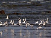 Rebanho das andorinhas-do-mar Foto de Stock