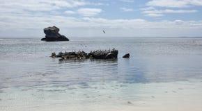 Rebanho das andorinhas-do-mar Fotografia de Stock Royalty Free