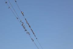 Rebanho das andorinhas em fios bondes Fotos de Stock Royalty Free