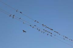 Rebanho das andorinhas em fios bondes Foto de Stock