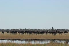 Rebanho das avestruzes Imagem de Stock Royalty Free
