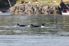 Rebanho das baleias de assassino em Canadá Foto de Stock Royalty Free