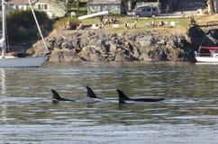 Rebanho das baleias de assassino em Canadá Fotografia de Stock Royalty Free