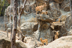 Rebanho das cabras de montanha, cabras no habitat da natureza Imagens de Stock Royalty Free