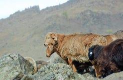 Rebanho das cabras e dos carneiros Imagens de Stock