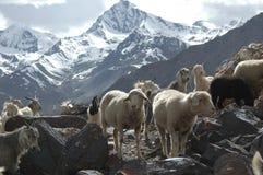 Rebanho das cabras e dos carneiros fotos de stock royalty free