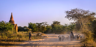 Rebanho das cabras em Bagan, Myanmar (Burma) Foto de Stock Royalty Free