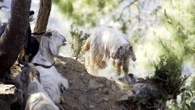 Rebanho das cabras que alimentam nas montanhas video estoque