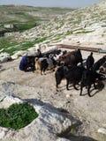 Rebanho das cabras que bebem e que ordenham a mulher Imagem de Stock Royalty Free
