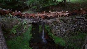Rebanho das cabras que cruzam um rio com uma cachoeira pequena Lapso de tempo vídeos de arquivo