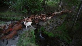 Rebanho das cabras que cruzam um rio com uma cachoeira pequena Lapso de tempo video estoque