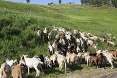 Rebanho das cabras que pastam em um monte verde Fotografia de Stock Royalty Free