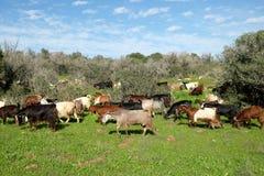 Rebanho das cabras que pastam nos montes em Judea foto de stock royalty free