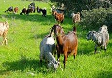 Rebanho das cabras que pastam nos montes em Judea imagens de stock