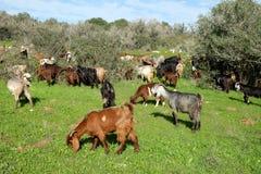 Rebanho das cabras que pastam nos montes em Judea imagem de stock