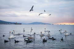 Rebanho das cisnes e das gaivotas no alvorecer dourado do nascer do sol Imagem de Stock