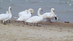 Rebanho das cisnes no mar, conceito animal selvagem video estoque