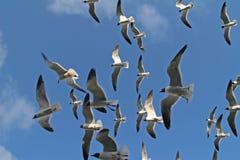 Rebanho das gaivota Fotos de Stock