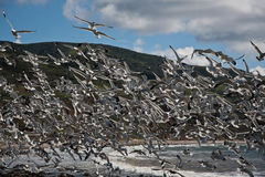 Rebanho das gaivotas imagens de stock