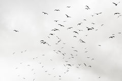Rebanho das gaivotas Fotos de Stock Royalty Free