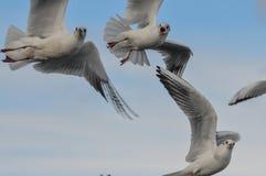 Rebanho das gaivotas brancas Imagem de Stock
