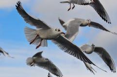 Rebanho das gaivotas brancas Imagens de Stock Royalty Free