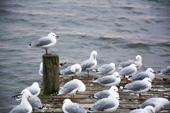 Rebanho das gaivotas em um cais pelo lago Rotorua Imagens de Stock