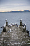 Rebanho das gaivotas em um cais que olha em cima do lago Rotorua Imagens de Stock Royalty Free