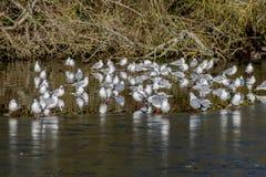 Rebanho das gaivotas que estão lago no janeiro de 2019 congelado imagem de stock