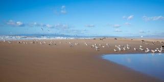 Rebanho das gaivotas que voam na península entre o Oceano Pacífico e o rio de Santa Maria no Rancho Guadalupe Sand Dunes Preserve fotografia de stock