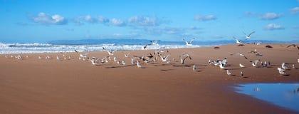 Rebanho das gaivotas que voam na pen?nsula entre o Oceano Pac?fico e o rio de Santa Maria no Rancho Guadalupe Sand Dunes Preserve fotografia de stock