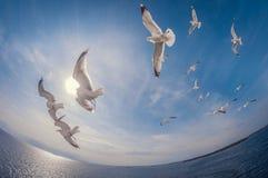 Rebanho das gaivotas que voam sobre o mar com um fundo do céu azul, distorção do fisheye imagens de stock royalty free