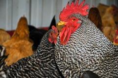 Rebanho das galinhas Fotografia de Stock Royalty Free