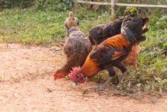 Rebanho das galinhas que pastam na grama Imagens de Stock Royalty Free